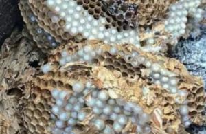 Гнездо шершней после обработки
