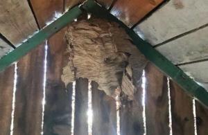 Гнездо шершней