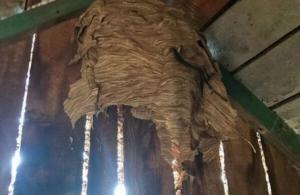 Гнездо шершней на чердаке
