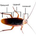 отделы таракана