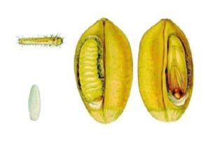 пищевая моль в зерне