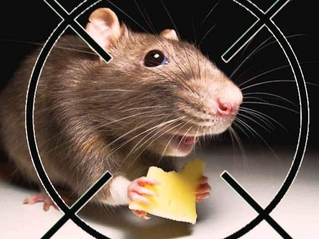 дератизация крыс