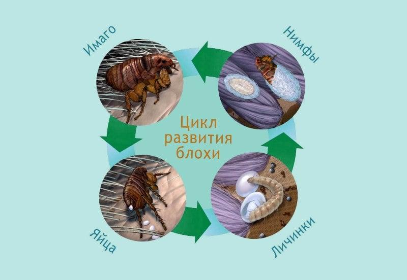 цикл развития домашних блох