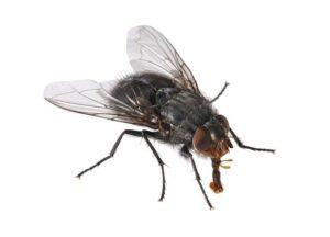 муха обыкновенная
