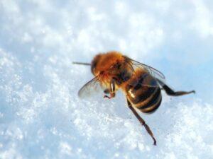 холод пчела