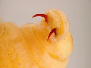 Личинка овода