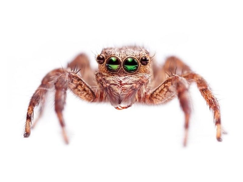 паук скакун